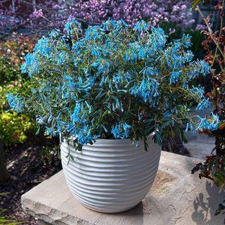 Corydalis Porcelain Blue