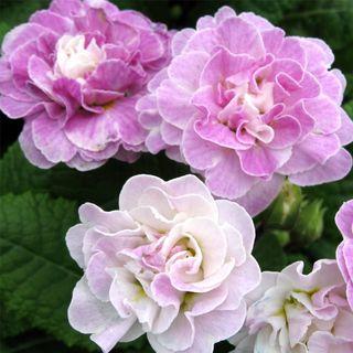 Primula vulgaris Belarina® Pink Ice