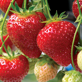 Know Before You Grow: Strawberries
