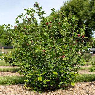 Calycanthus floridus Sweetshrub