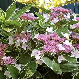 Hydrangea First Edition® Light-O-Day®