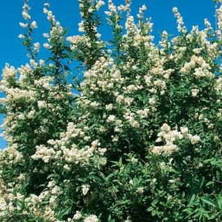 Ligustrum Cheyenne Privet