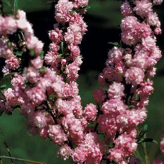 Prunus Pink Almond