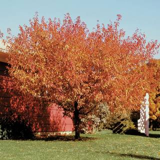 Acer Bailey Compact Amur Maple