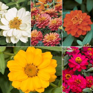 Double Flowered Zinnia Profusion Collection