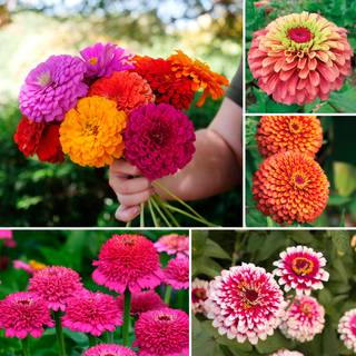 Parks Zinnias for Cutting Collection