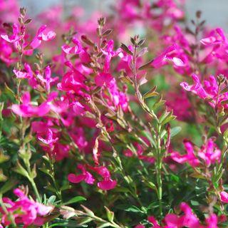 Salvia Wild Thing