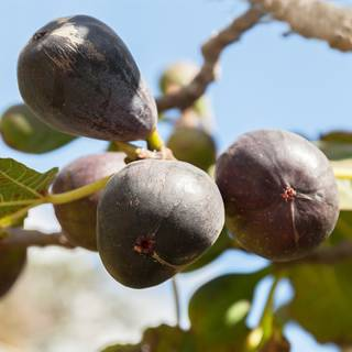 Ficus Neverella Fig