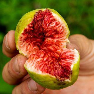Stella Fig Tree™