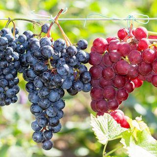 Seedless Grape Duo