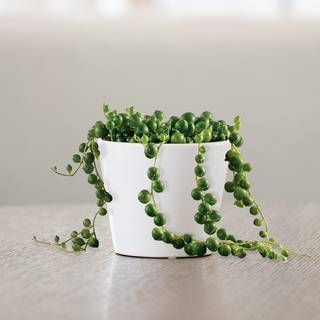 String of Pearls Succulent Gift