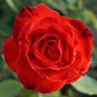 Camara Hybrid Tea Rose