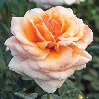 Apricots n Cream™ Hybrid Tea Rose