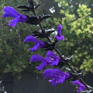 Salvia BODACIOUS® Rhythm & Blues