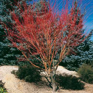 Sango Kaku Acer palmatum Coral Bark Maple Tree