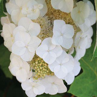 Hydrangea Alice