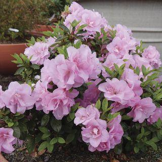Rhododendron Perfecto Mundo® Double Pink Azalea Image