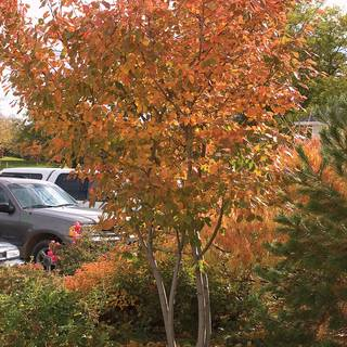 Amelanchier Autumn Brilliance