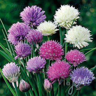 Allium Ornamental One Mix