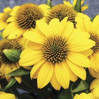 Echinacea Sombrero<R> Poco™ Yellow