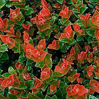 Vaccinium Scarlet Ovation™ Huckleberry