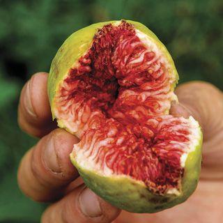 Ficus Stella™ Fig