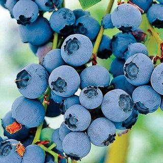 Vaccinium Razz Blueberry