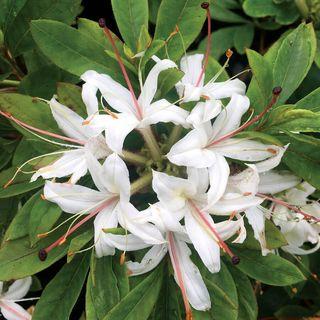 Rhododendron Sweet Azalea