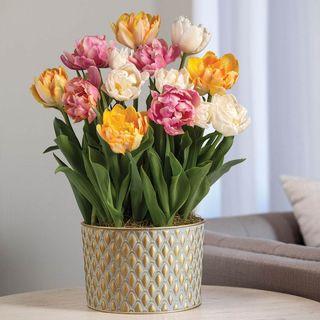 Tulip Triumph Bulb Garden