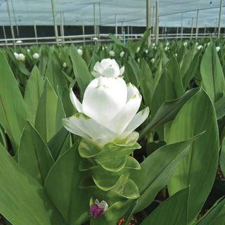 Curcuma White Jasmine
