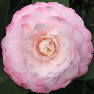 Camellia Grace Albritton