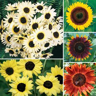 Ultimate Park Seed Sunflower Collection