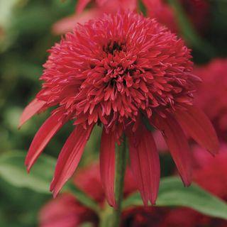 Echinacea Double Scoop™ Cranberry