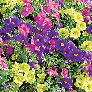 Candy Shop MiniFamous™ Calibrachoa Annual Plant Collection