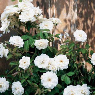Lace Cascade Climbing Rose Image