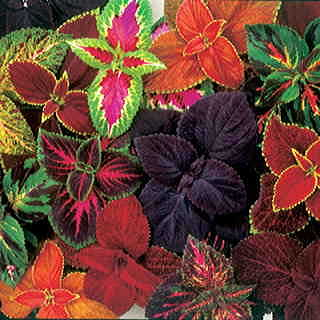 Complete Mix Giant Exhibition Coleus Seeds