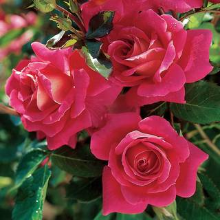 Miss Behavin™ Floribunda Rose