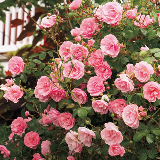 The Fairy Shrub Rose