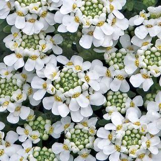 Snowflake Iberis Candytuft Plant