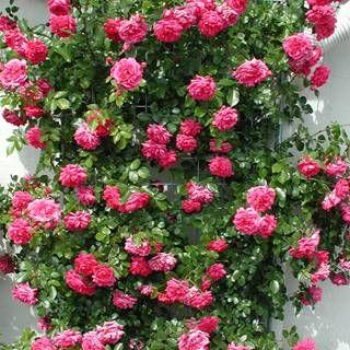 Laguna™ Arborose® Climbing Rose