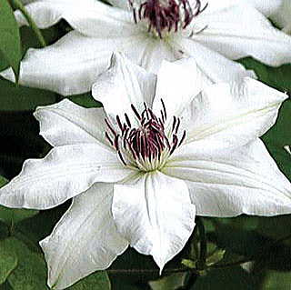 Vancouver™ Fragrant Star Clematis