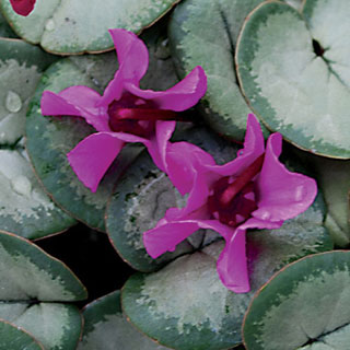Silver Form Winter Cyclamen