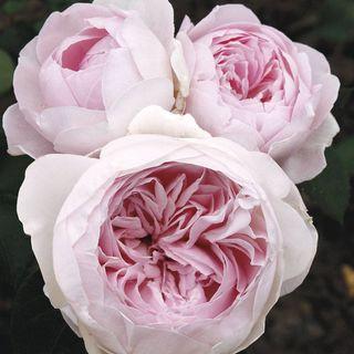 Earth Angel™ Parfuma® Floribunda Rose