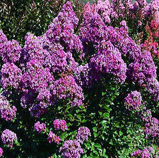 Purple Magic Crapemyrtle