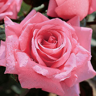 Beautiful Dreamer Hybrid Tea Rose 5-Pack