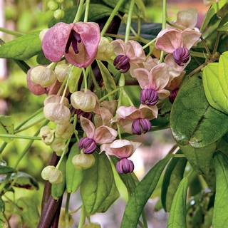 Silver Bells Chocolate Vine For Sale At Park