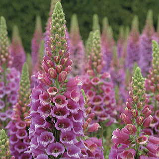 Candy Mountain Foxglove