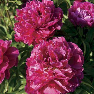Karl Rosenfield Peony Plant