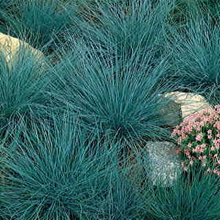 Blue Fescue Perennial Seeds