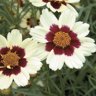 Coreopsis Snowberry